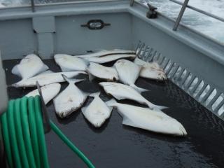 heilbuttfischen3