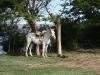 pferd_ohne_gaucho