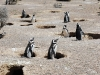 pinguine21