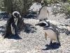 pinguine9
